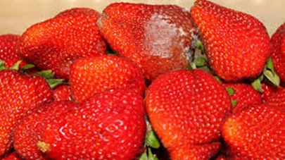 Pictures Of Rotten Strawberries